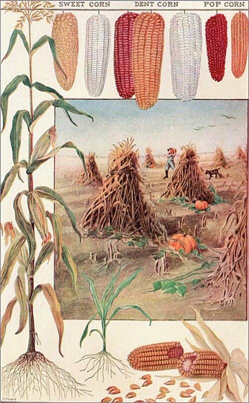 Vintage Illustration of Ripened Cobs of Sweet Corn, Dent Corn, and Pop Corn Being Harvested
