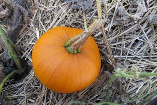 Ripe Pumpkin in Garden
