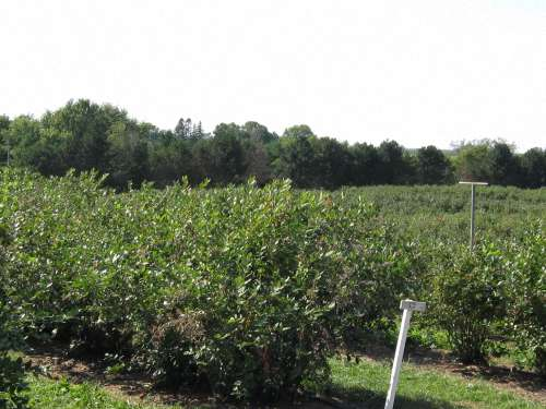 Field of Highbush Blueberry Bushes At Wilmot Orchards