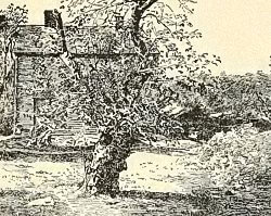One of The Oldest Surviving Rhode Island Greening Apple Trees, 1900