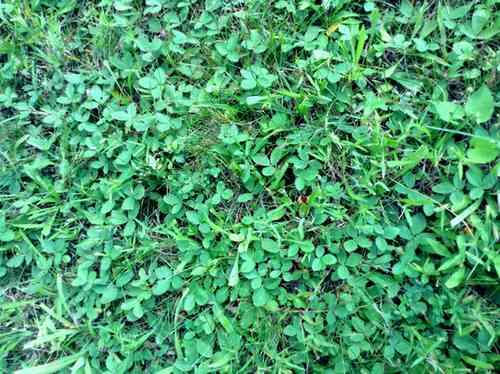 Wild Strawberry Patch