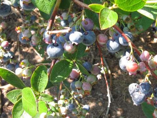 Cluster of Highbush Blueberries Ripening