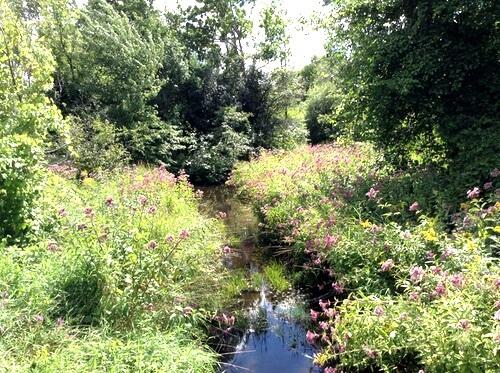 Elderberries Grow Nearby Creeks
