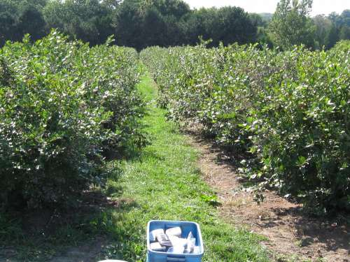 Highbush Blueberry Rows At Wilmot Orchards
