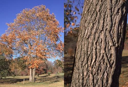 Sassafras Tree Bark